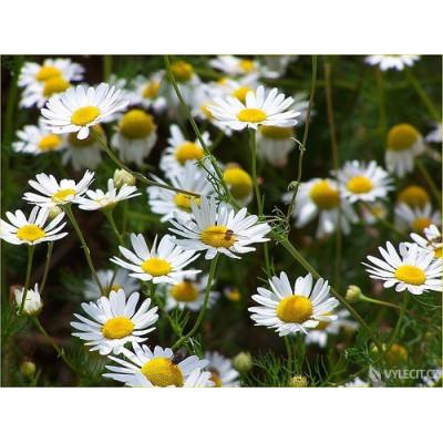 Heřmánek květ 50 g