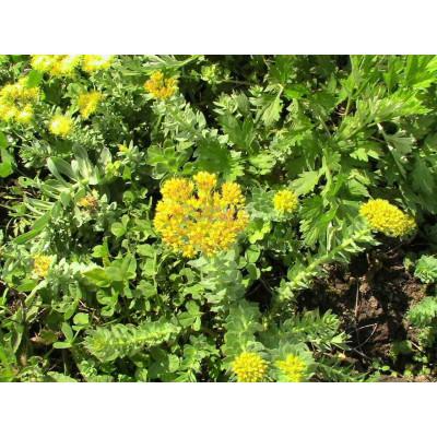 Rhodiola bylinka sypaná 30g